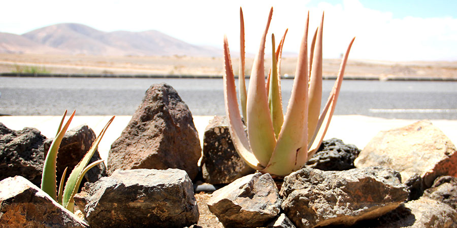 Aloe Vera: a popular plant at Fuerteventura